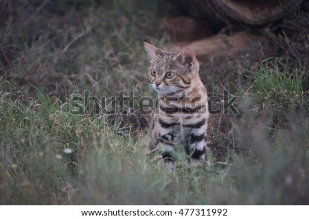 A small spotted cat staring out from its hiding place