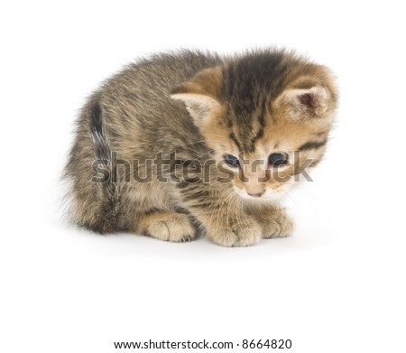 A small tabby kitten sits on a white background