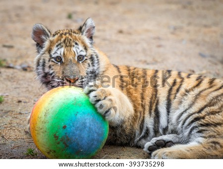 Small Tiger Cub Playing Ball His Stock Photo 393735298 ...