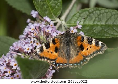 A Small Tortoiseshell butterfly feeding on Buddliea, (Buddleja davidii), Cornwall, England, UK. - stock photo