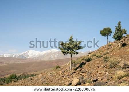 A small tree in a hillside with and a big snowy mountain In the horizon on a misty in the Atlas Mountains in Morocco in the spring.