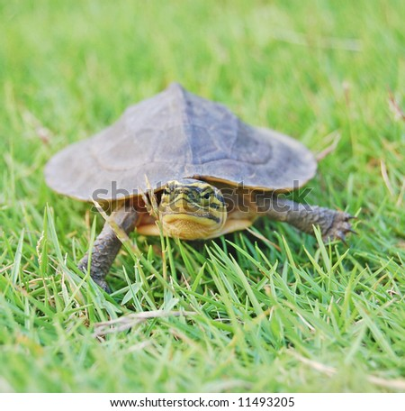 a small turtle walking on the the backyard grass - stock photo
