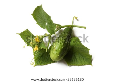 A small vine of cucumber plant, with fruit, flowers and leaves, on white background, isolated - stock photo
