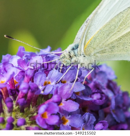 A small white butterfly feeds on a purple butterfly bush. - stock photo