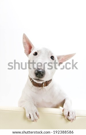 A small white dog with perky ears wearing a leather collar. - stock photo
