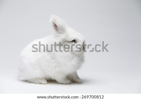 A small white rabbit on blue screen