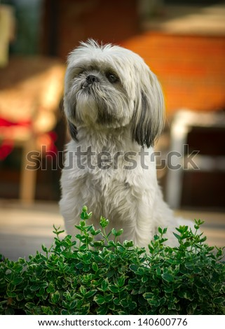 A small, white Shih-Tzu dog sits with focused attention behind the leaves of a green bush. - stock photo