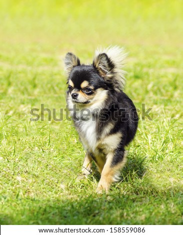 A small, young, beautiful, black and tan, cream, long coated Chihuahua standing on the lawn. Chihuahua dogs are the smallest in size. - stock photo