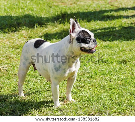 A small, young, beautiful, black and white Boston Terrier dog standing on the lawn, aka Boston Bull. Boston Terriers are highly intelligent and easily trainable.