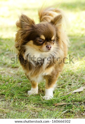 A small, young, beautiful, chocolate and cream, brown, long coated Chihuahua standing on the lawn. Chihuahua dogs are the smallest in size. - stock photo