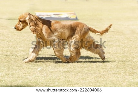 A small, young beautiful fawn, red English Cocker Spaniel dog running on the grass, with its coat clipped into a show cut. The Cocker Spanyell dogs are an intelligent, gentle and merry breed. - stock photo