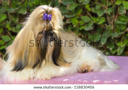 A small young light brown, black and white tan Shih Tzu dog with a long silky coat sitting, having its head coat braided.