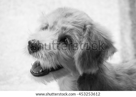 A smiling brown dog with blur background (focus at dog's face, black and white photo style) - stock photo