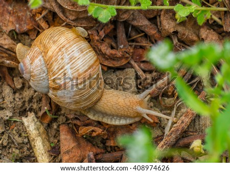 A snail and her baby on a walk through the dry leaf in the garden. - stock photo