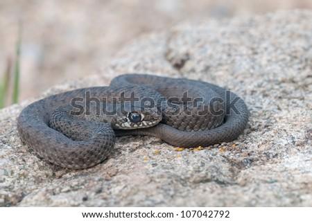 a snake on a stone - stock photo