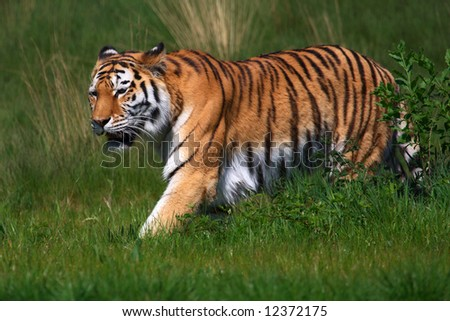 A sneaking female Amur Tiger in a green field