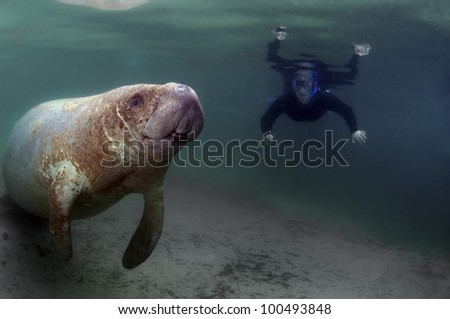 A snorkeler watching and manatee