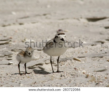 A Snowy Plover chick and adult stand motionless after a frantic dash across the beach, blending into the surrounding sand - stock photo