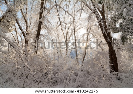A snowy winter sunrise scene with the snow clinging to the trees and bushes. - stock photo