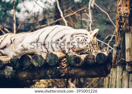 A soft focus white bengal tiger was relax and sleeping on the wooden litter - stock photo