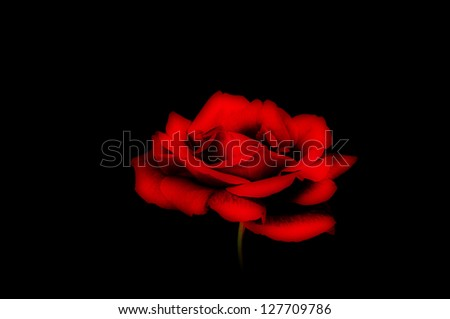 A soft red rose on a black background. - stock photo