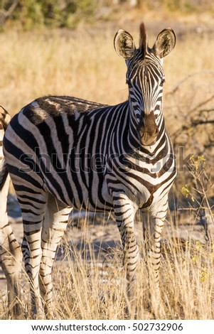 A solitary Plains Zebra (Equus burchellii) stands in the dry savanna during winter in Kruger National Park in South Africa