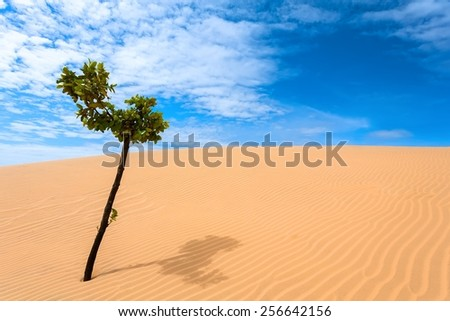 A solitary tree with green leaves in the sand dunes. - stock photo