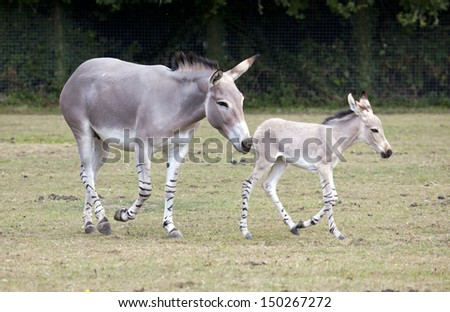 A Somali Wild Ass mother with her foal in a field