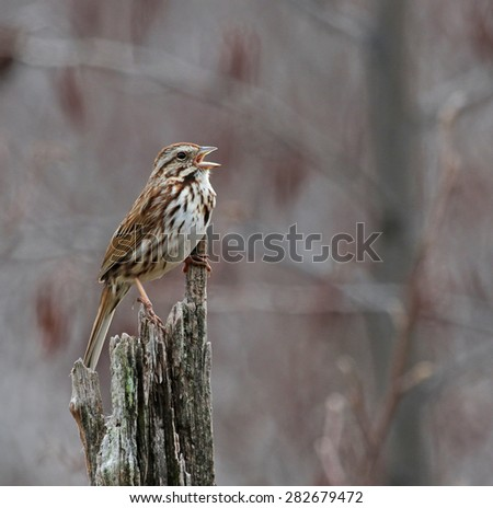 A Song Sparrow (Melospiza melodia) singing from a dead tree.   - stock photo