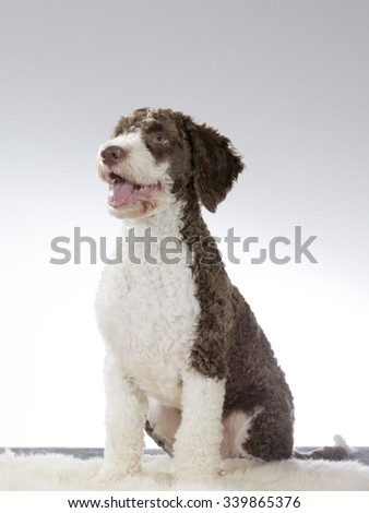 A spanish waterdog puppy portrait. Image taken in a studio. The breed is also known as perro. - stock photo