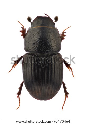 A specimen of Otophorus haemorrhoidalis, dung beetle, isolated on a white background