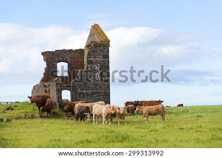 A spectacular view over The Nut in Stanley Tasmania, Australia. Cows in green field. Blue sky and white clouds. - stock photo