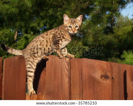 A spotted and striped gold colored male Serval Savannah kitten climbing on a wooden fence. - stock photo