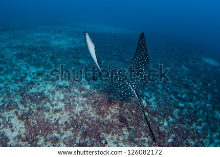 A Spotted eagle-ray (Aetobatus narinari) cruises across the rubble bottom near Cocos Island, Costa Rica.  This remote island is known for its large shark populations. - stock photo