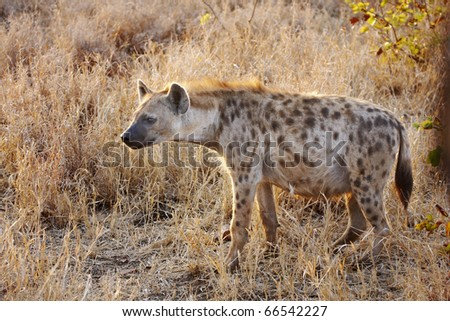 A spotted hyaena, crocuta crocuta, stands alert in golden early morning sunlight - stock photo