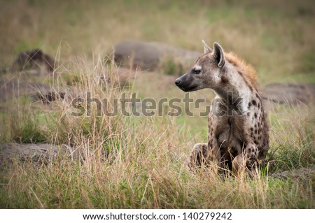 A Spotted Hyena spotted Hyena pauses on the plains of the Masai Mara