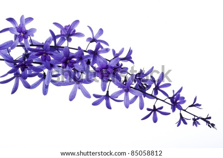 A spray of lilac flowers, isolated.