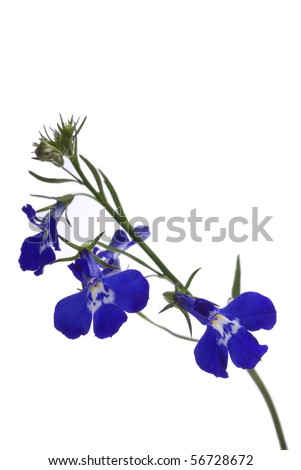 A sprig of blue lobelia on a white background. - stock photo