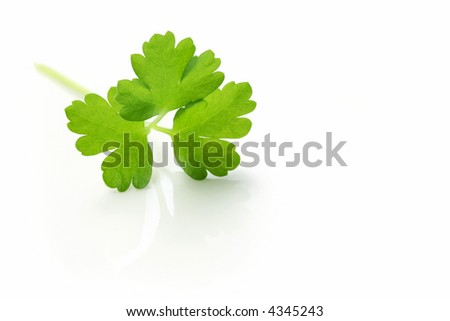 A sprig of fresh Italian parsley, reflected on a white surface.  Macro view.