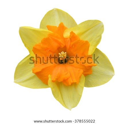 A spring daffodil blooming - stock photo