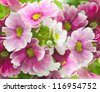 A spring primrose is in a bouquet, floral background - stock photo