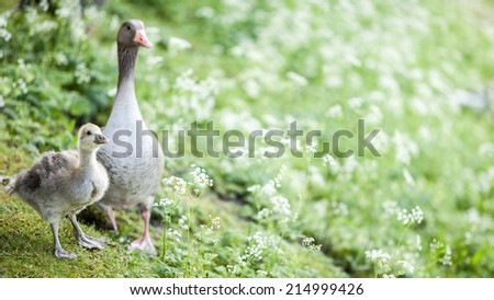 A spring rural scene with geese and baby geese (goslings) foraging for food in the grass. - stock photo