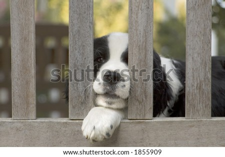 A Springer Spaniel puppy plays on a bench. - stock photo
