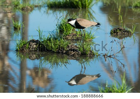 A Spur-Winged Lapwing (Vanellus Spinosus) on an island reflected in water - stock photo