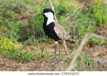 A Spur Winged Plover Posing on the Ground - stock photo