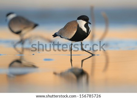 A Spur-Winged Plover standing on a water - stock photo