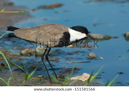 A Spur-Winged Plover standing on the shoreline - stock photo