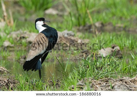 A Spur-Winged Plover (Vanellus Spinosus) displaying proudly on the edge of a grassy pond - stock photo
