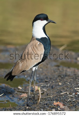 A Spur-Winged Plover (Vanellus Spinosus) momentarily bobbing for a better view - stock photo