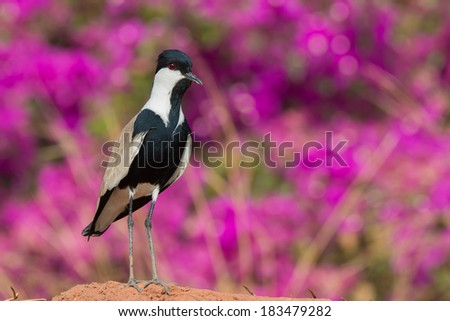 A Spur-Winged Plover (Vanellus Spinosus) standing in front of purple flowers - stock photo